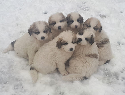 chiots 6 semaines.jpg