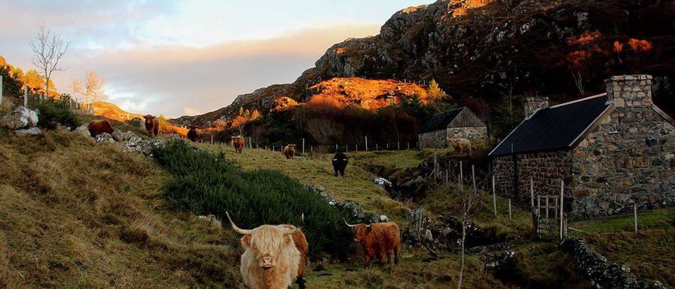 Croft and highland cattle