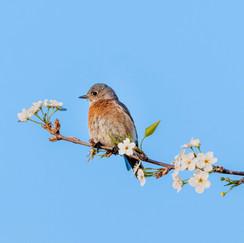 Gone Away is the Bluebird