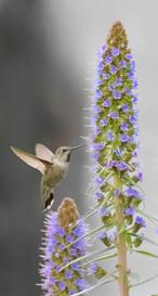 Humming in Flight