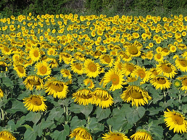 Painting en-plein-air inProvence with Wietzie. Beautiful sunflower field just asking to be painted.