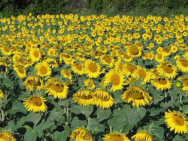 Art vacation to paint sunflower fields en-plein air with Wietzie in Provence