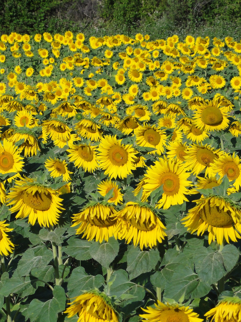 Sunflowers in Provence
