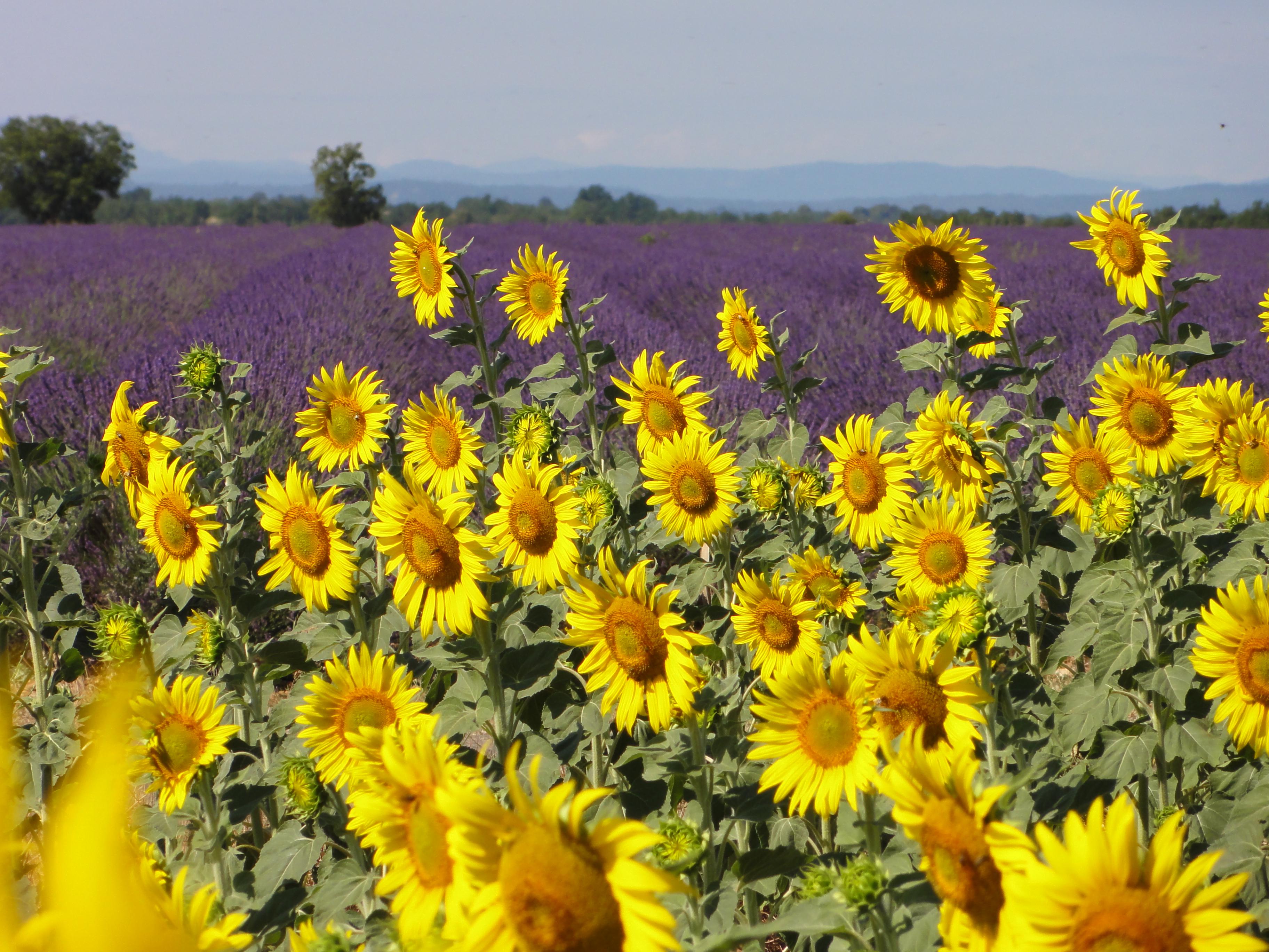 Lavender & Sunflowers