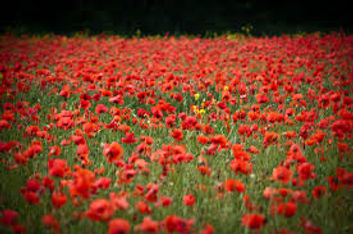 Come and paint a poppy field close to Lorgues in Provence with Paint Provence art holidays hosted by Wietzie