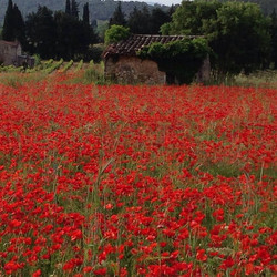 Poppy field, right here in our village of Lorgues