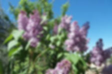 Painting lilacs en-plein air in Provence, France