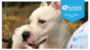 Photo shows white dog looking away from camera. MEHS logo imprinted at the top of the image.