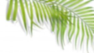 feuilles-palmier-tropicales-fond-blanc-n