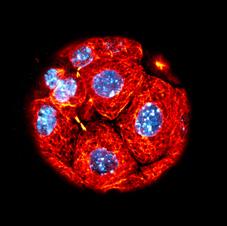 Embryo Star