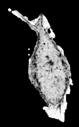 actin 4.png