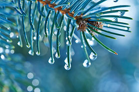 Blue Spruce with drops of water, macro.j