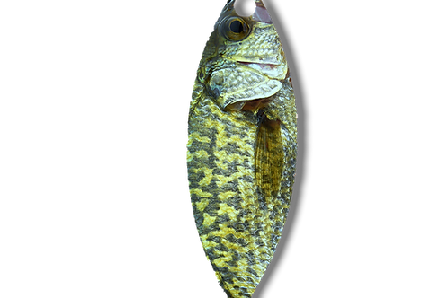REAL CRAPPIE