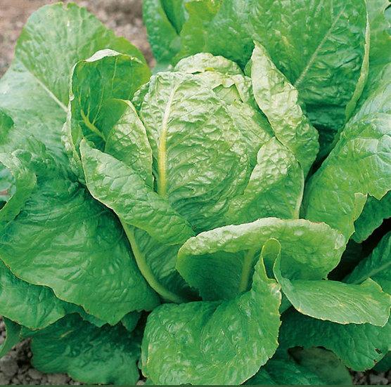 Lettuce- Lobjoits Green Cos Seeds