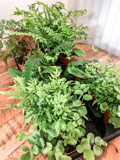 Fern Houseplants