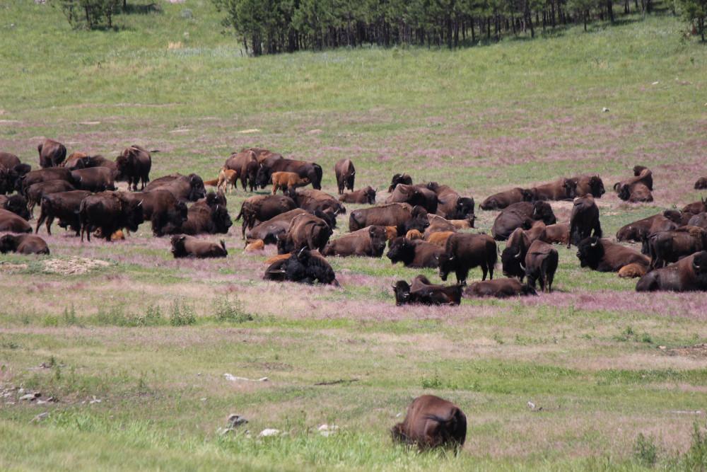Buffalo in the Praerie