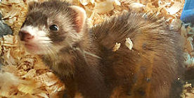 brownferret_edited_edited.jpg