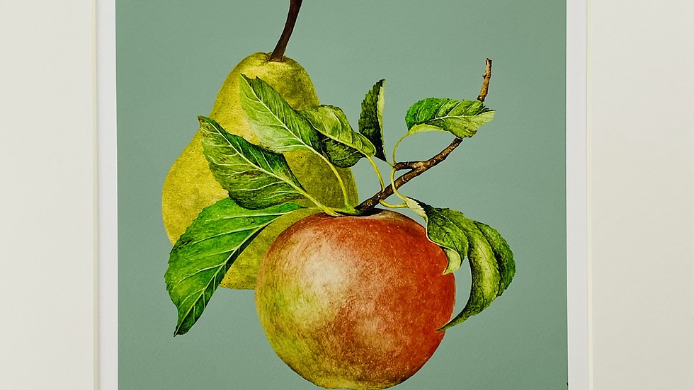 'Apples and pears' botanical illustration