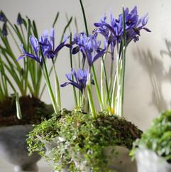 Iris%20reticulata%20'Harmony'%2010_edite