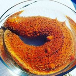 Orange sea cucumber in viewing bowl.