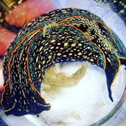 Sea slug with yellow spots
