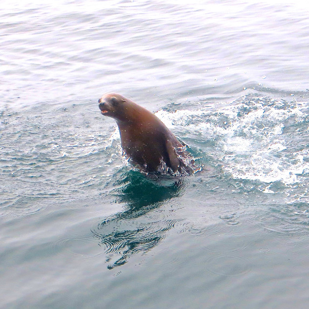 California sea lion jumping out of the water.