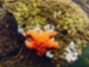 Underwater image of an orange sea star in Morro Bay.