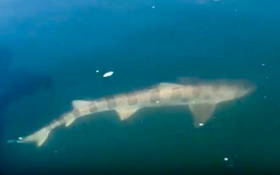 Leopard shark near surface of water