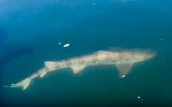 Leopard shark near surface of water