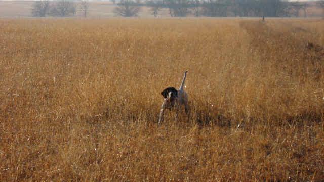 quail_038