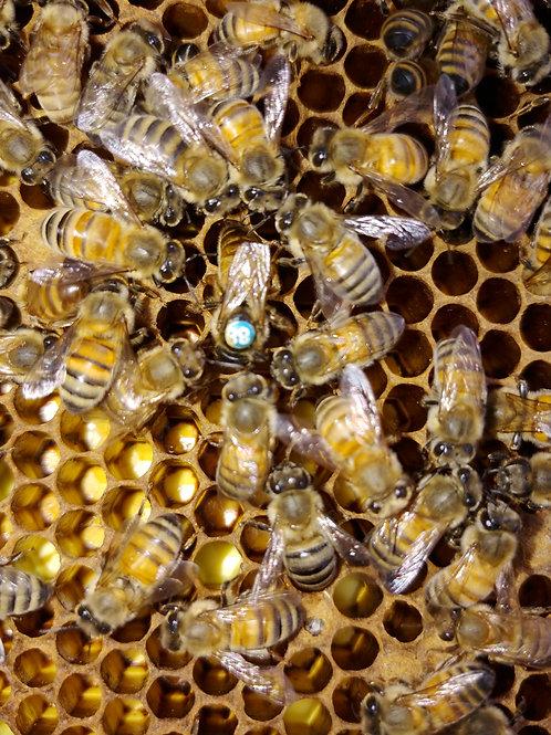Carniolan Spartan breeder queen bee