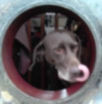 GSP dog looking through the porthole