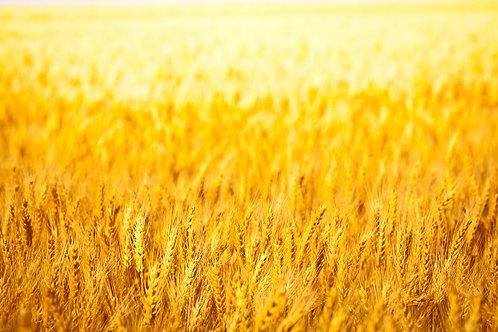 CD Golden Wheatfields