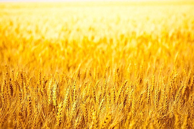 goldenwheatfields.jpg