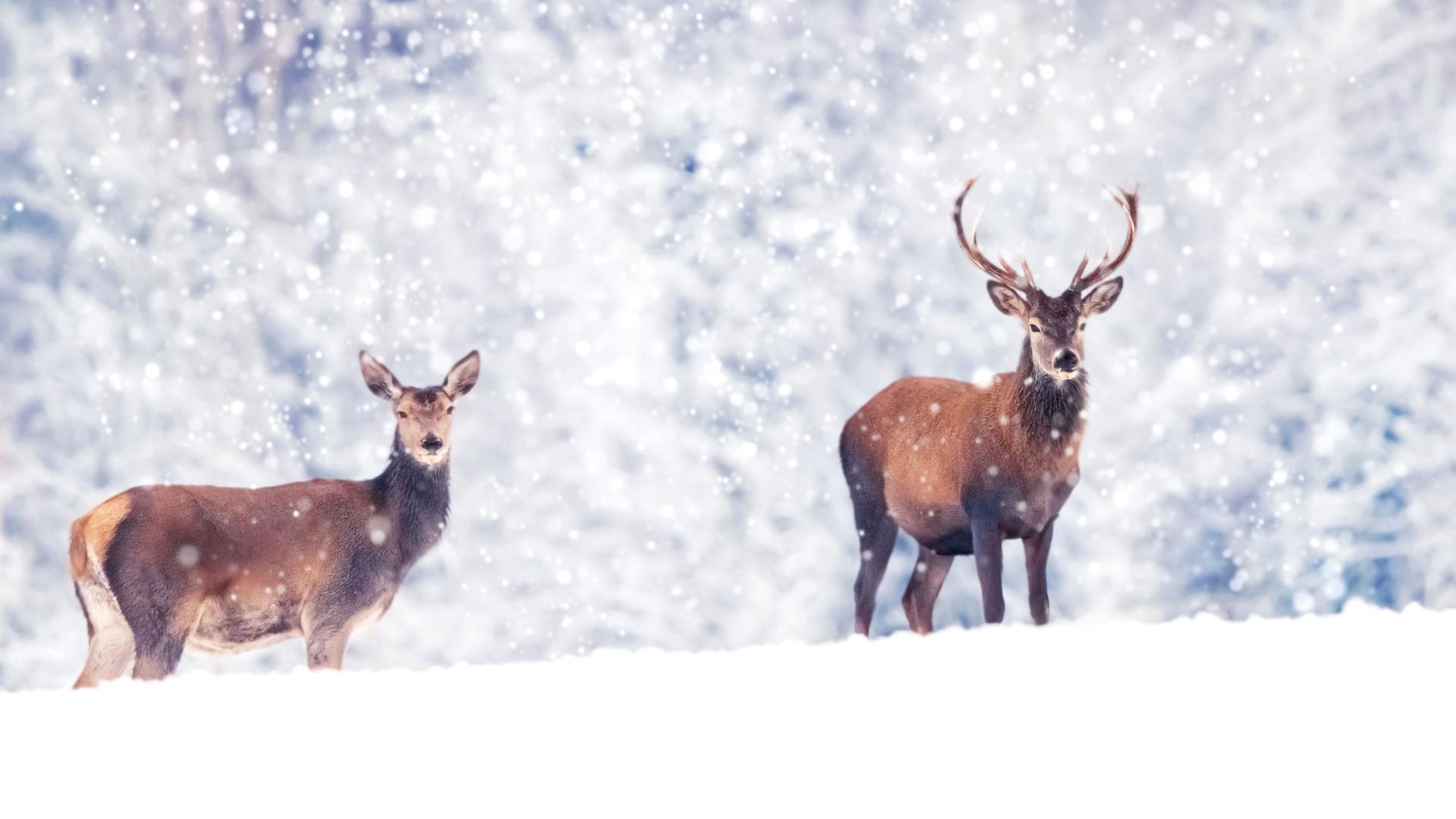 Buck-Snow-iStock-1070670896.jpg