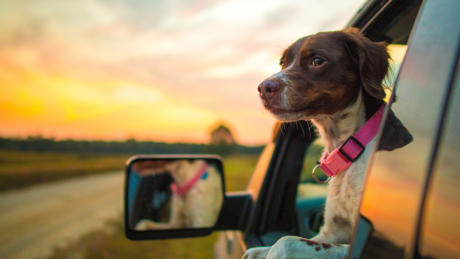 Dog-Out-Window-Truck-iStock-1094506862.j
