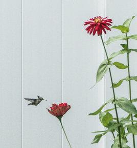33. Hummingbird Visits the Zinnia Zone