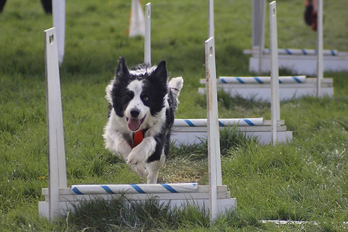 Intermediate Level Flyball