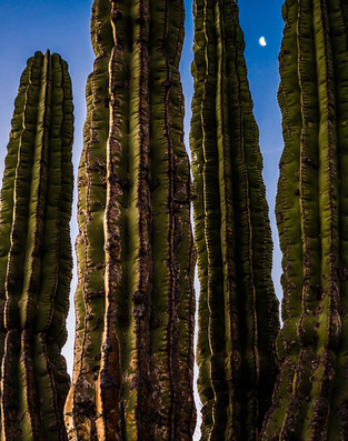 Saguaro Reaches For the Moon