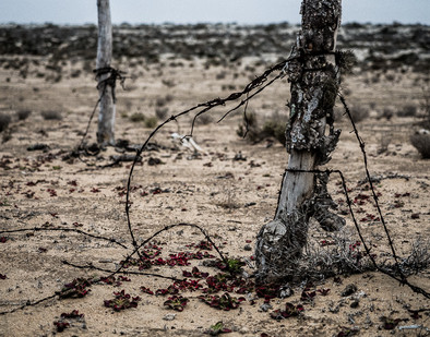 Cacti Fencepost