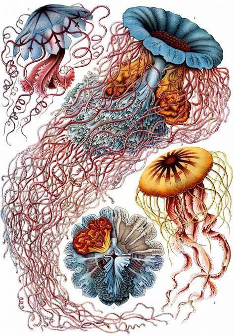 Illustration Discomedusae d'Ernest Haeckel vulgarisation scientifique Mo(o)n Label
