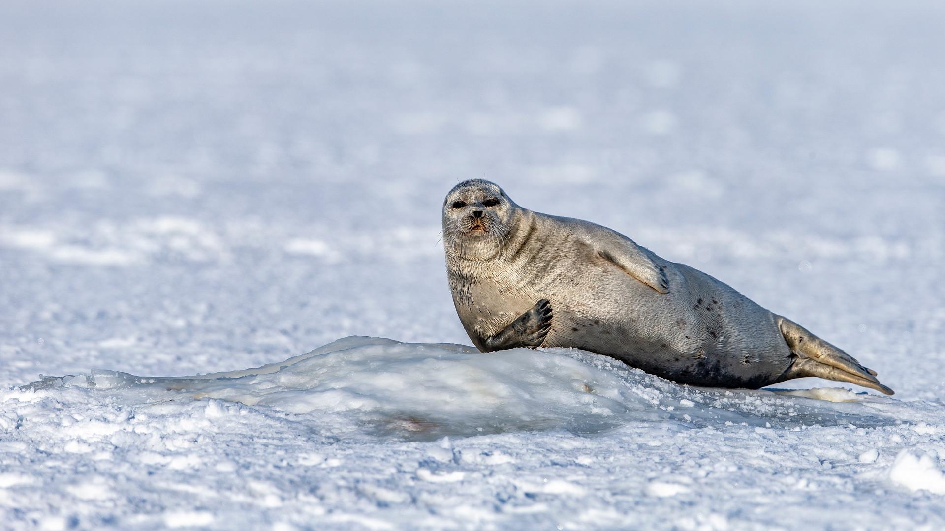 Тюлени в Шпицбергене.jpg