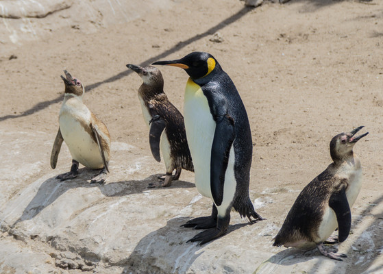 Пингвины в Мар-дель-Плата.jpg