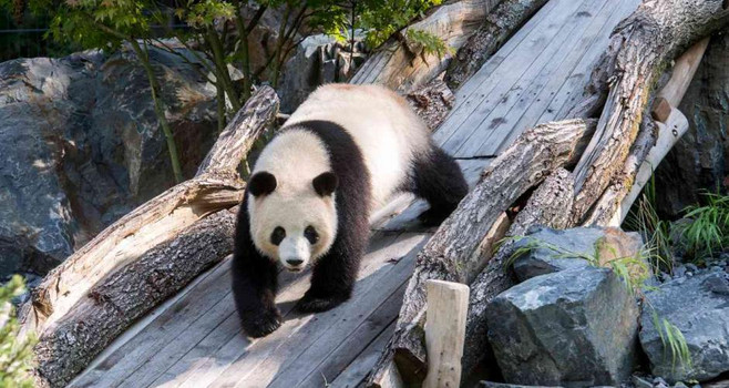 Берлинский зоопарк Панда.jpg