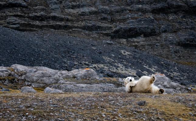 Булые медведи Шпицберген.jpg