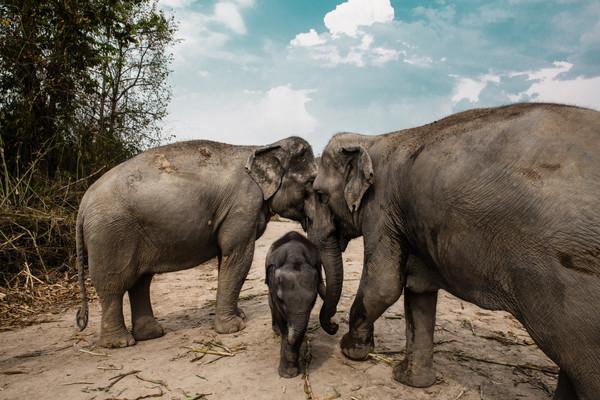 Чиангмай ферма слонов.jpg