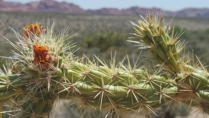 choia cactus