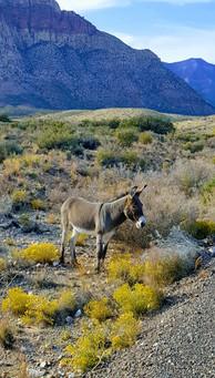 Red Rock Canyon donkey