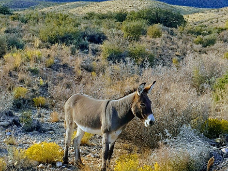 Sometimes there are Burros