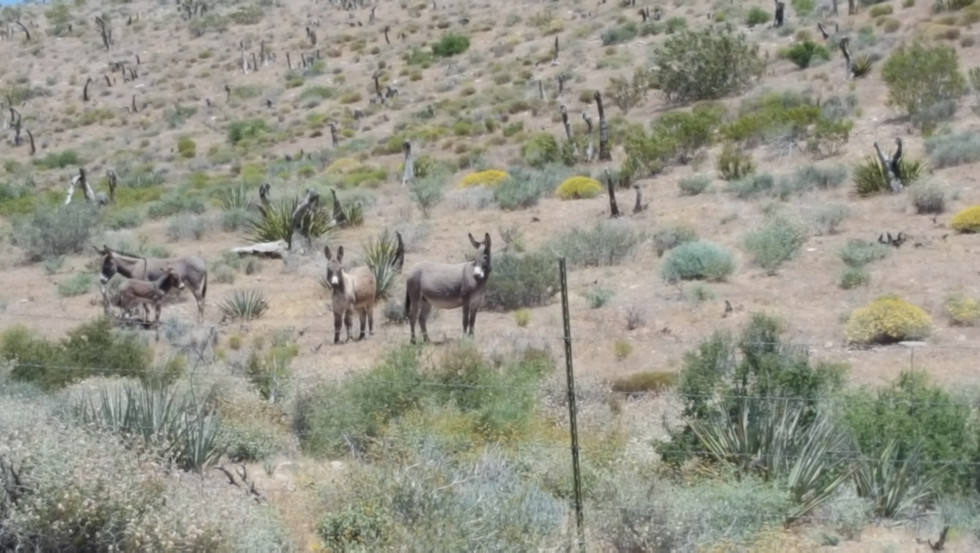 Red Rock Canyon Burros
